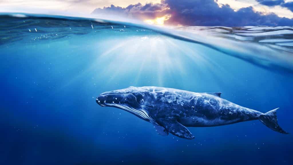 افزایش تعداد نهنگهای بیت کوین با موجودی حداقل 1000 واحد